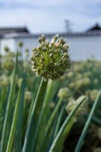 玉ねぎの花、玉ねぎの種の写真素材 [FYI03440471]