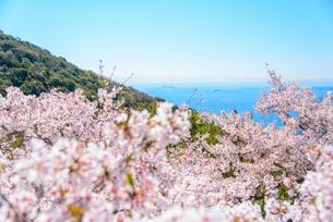 須磨浦山上の桜と瀬戸内海の写真素材 [FYI03440528]