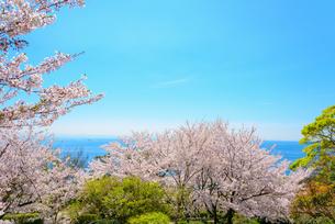 桜満開の須磨浦公園の写真素材 [FYI03440533]