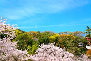 桜満開の須磨浦公園の写真素材 [FYI03440535]