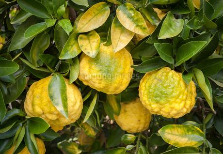 獅子柚子の実の写真素材 [FYI03440616]