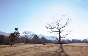 晩秋の奈良公園と鹿の写真素材 [FYI03440657]