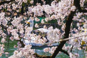満開の桜とアヒルボート(井の頭公園)の写真素材 [FYI03440748]