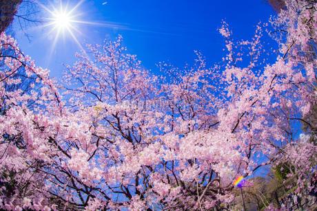 枝垂れ桜と晴天の青空の写真素材 [FYI03440869]