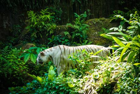 ジャングルに佇むホワイトタイガーの写真素材 [FYI03440901]