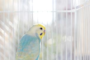 セキセイインコ 鳥かごの写真素材 [FYI03441104]