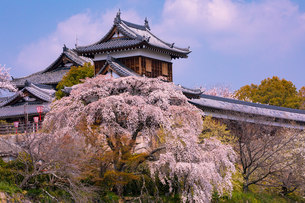 桜満開の郡山城(奈良県大和郡山市)の写真素材 [FYI03441138]