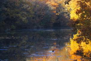 震生湖の湖面を進む鴨の写真素材 [FYI03441150]
