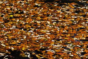 湖面に浮かぶ落葉の写真素材 [FYI03441160]