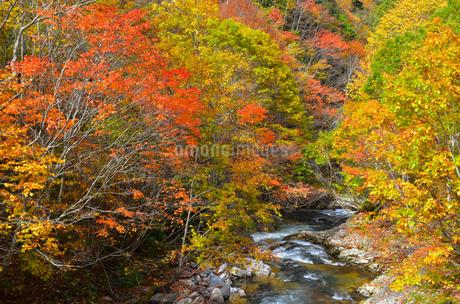 照葉峡の紅葉の写真素材 [FYI03441252]