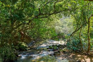 西表島のジャングルの写真素材 [FYI03441270]