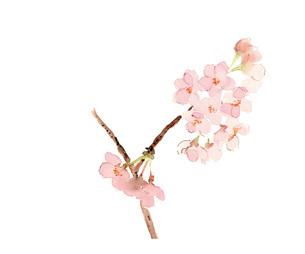 水彩 桜 さくら 枝のイラスト素材 [FYI03441340]