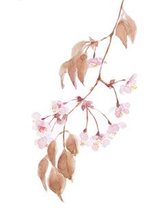 水彩 桜 さくら 春のイラスト素材 [FYI03441341]