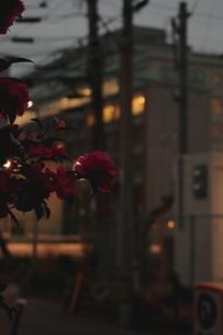 夜の山茶花の写真素材 [FYI03441394]
