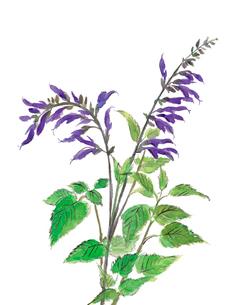 紫サルビア 水彩のイラスト素材 [FYI03441407]