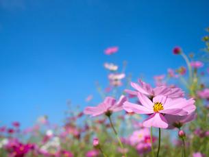 青空とコスモス畑の写真素材 [FYI03441722]