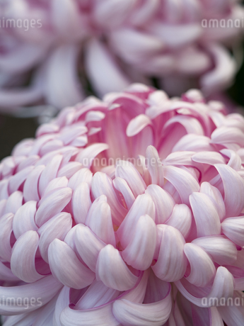 菊の花の写真素材 [FYI03441738]