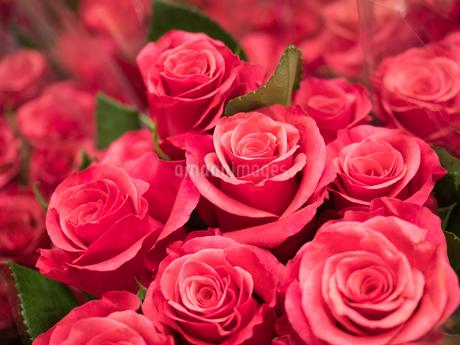 バラの花の写真素材 [FYI03441808]