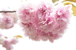 花の写真素材 [FYI03442008]