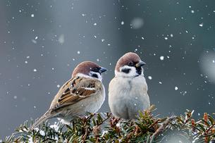 冬のスズメの写真素材 [FYI03442099]