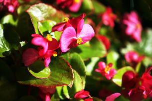 ベゴニア・センパフローレンスの花の写真素材 [FYI03442333]