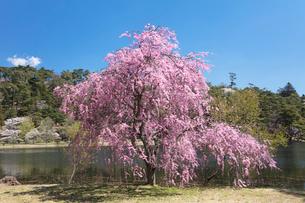 しだれ桜の写真素材 [FYI03442410]