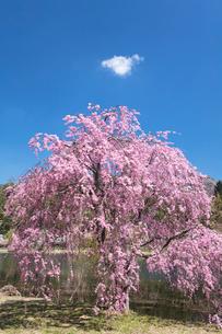 しだれ桜の写真素材 [FYI03442411]