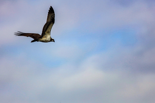 飛翔するミサゴの写真素材 [FYI03442425]