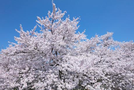 桜の花の写真素材 [FYI03442446]