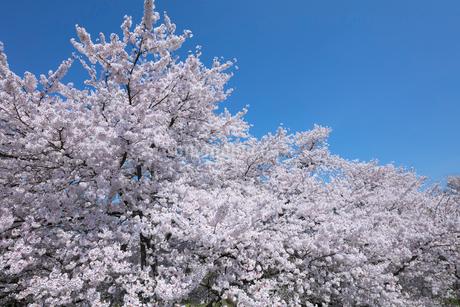 桜の花の写真素材 [FYI03442447]