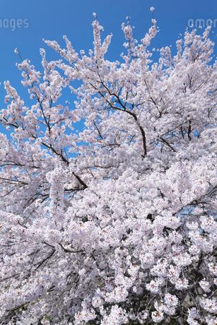 桜の花の写真素材 [FYI03442448]