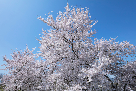 桜の花の写真素材 [FYI03442449]
