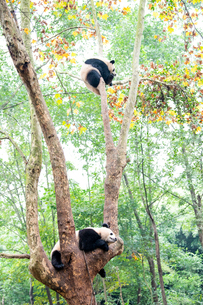 中国のパンダの写真素材 [FYI03442563]