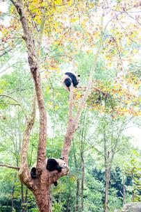 中国のパンダの写真素材 [FYI03442564]