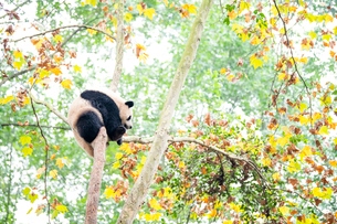 中国のパンダの写真素材 [FYI03442565]