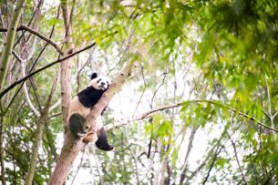 中国のパンダの写真素材 [FYI03442567]