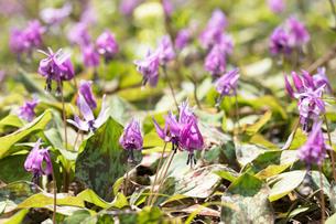 カタクリの花の写真素材 [FYI03442582]