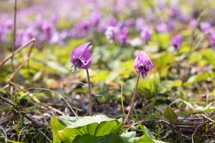 カタクリの花の写真素材 [FYI03442583]