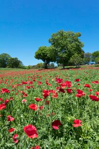 シャーレーポピーの花の写真素材 [FYI03442618]