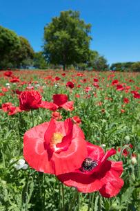 シャーレーポピーの花の写真素材 [FYI03442621]