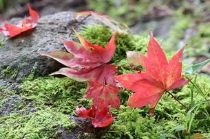 もみじの紅葉と緑の苔の写真素材 [FYI03442627]