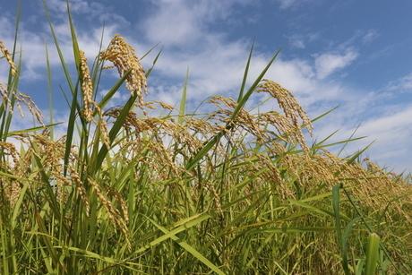 収穫前の田んぼの稲穂の写真素材 [FYI03442664]