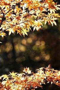 黄色いもみじの写真素材 [FYI03442682]