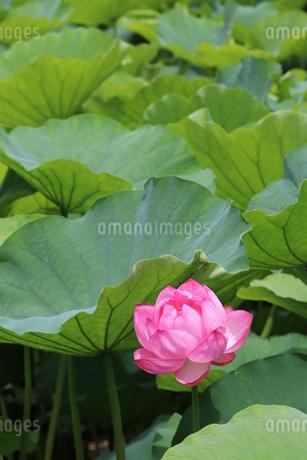 ハスの花の写真素材 [FYI03442718]