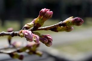 桜のつぼみアップの写真素材 [FYI03442795]