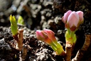 桜のつぼみアップの写真素材 [FYI03442800]
