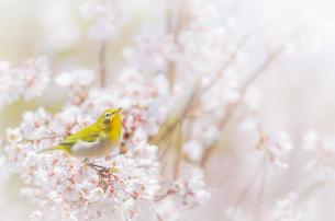 桜の木にとまっているメジロの写真素材 [FYI03443124]