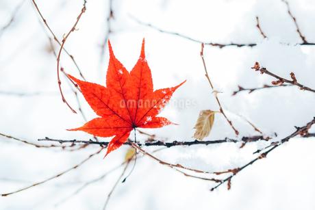 冬のもみじの写真素材 [FYI03443378]