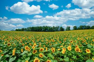ひまわり畑と青空の写真素材 [FYI03443389]