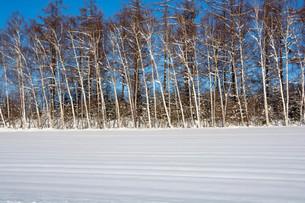 冬の雑木林と青空の写真素材 [FYI03443431]